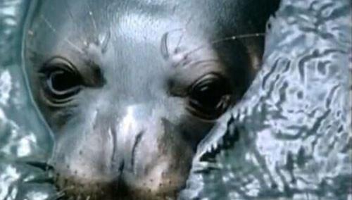 奇趣大自然20140629期:夏威夷僧海豹