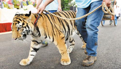 """动物""""阅兵仪式"""" 牵着老虎来溜街"""