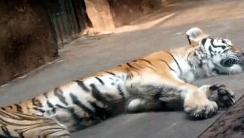 """天津动物园有只""""减肥""""老虎"""