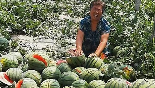 """河北保定上演真实版""""切水果"""" 4.5亩西瓜一夜被砍"""