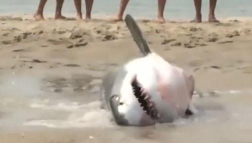 美国:大白鲨搁浅海滩 游人泼水救援 海岸警卫队用小艇将鲨鱼拖回大海