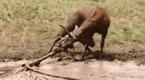 众人合力解救受困野生麋鹿