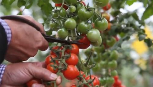 岳阳绿色菜园网运行 手机下订单蔬菜送到家