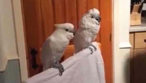特殊舞蹈技巧的鹦鹉!夜店小王子即视感
